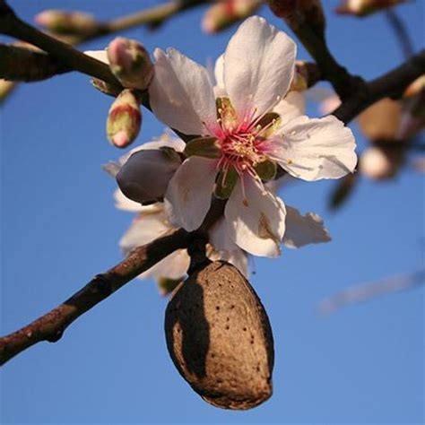The meaning and symbolism of the word - Almond Tree