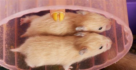 Not just for pets: wild animals like hamster wheels too