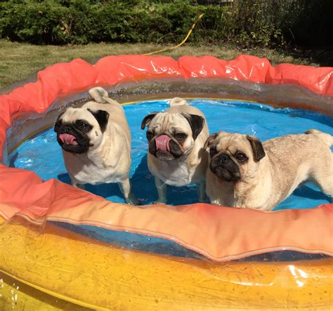 """DanTDM💎 on Twitter: """"Hot weather means it's Pug Pool time"""